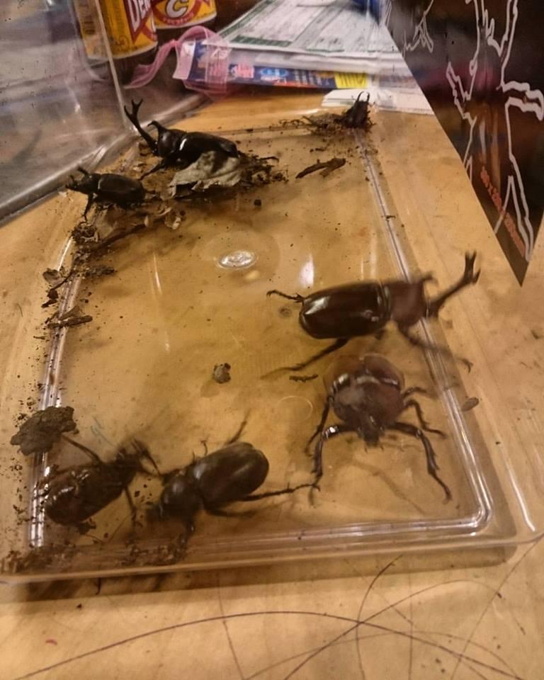 採集したカブトムシ